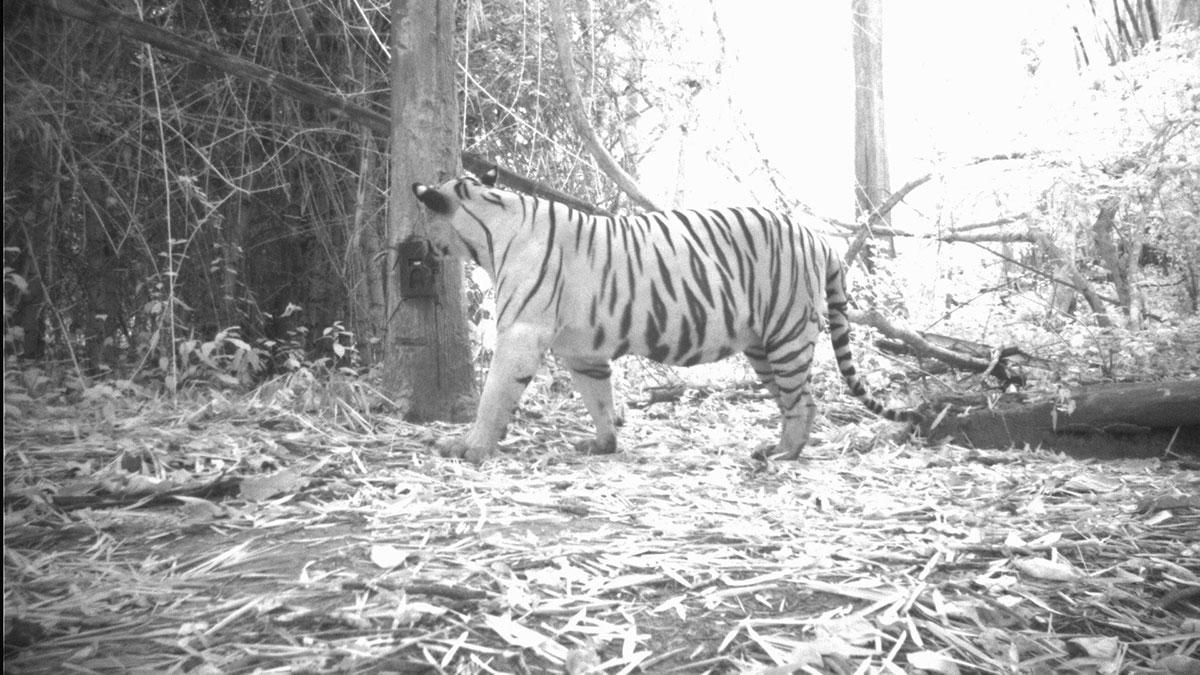 SLT001M เสือโคร่งตัวแรกในผืนป่าสลักพระ (ภาพจาก กรมอุทยานแห่งชาติ สัตว์ป่า และพันธุ์พืช)