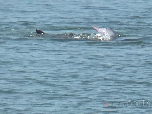 พบครอบครัวโลมาว่ายน้ำเล่นโชว์นักท่องเที่ยวที่ท่าเรือตะเสะ จ.ตรัง