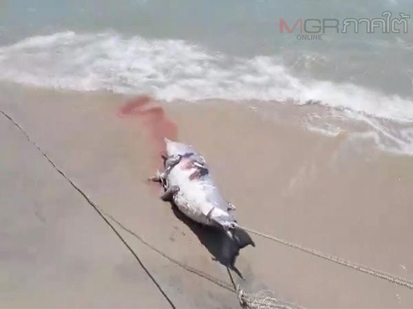 เศร้า! นครศรีฯ พบซากโลมาลอยตายกลางทะเลและซากเต้าตนุเกยหาดที่ถูกเชือกรัดตาย