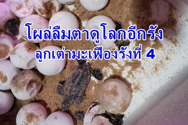 ลูกเต่ามะเฟืองรังที่ 4 หาดบ่อดาน จ.พังงา ฟักแล้ว