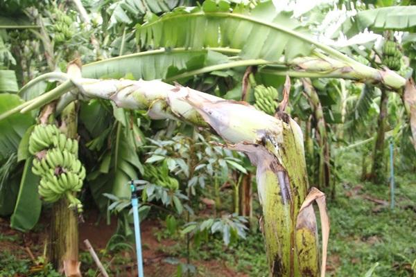 พายุฝนถล่ม เมืองโอ่งหลายจุด สวนกล้วยหลายพันต้นเสียหาย
