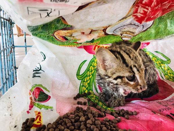 ชาวบ้านอ่างทองตื่นเต้น!!  พบแมวดาว สัตว์ป่าสงวน ติดกรงดักหนูกลางไร่อ้อย