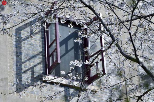 (ชมคลิป) ซากุระเบ่งบาน...รับฤดูใบไม้ผลิที่เข้มแข็งที่สุดของอู่ฮั่น