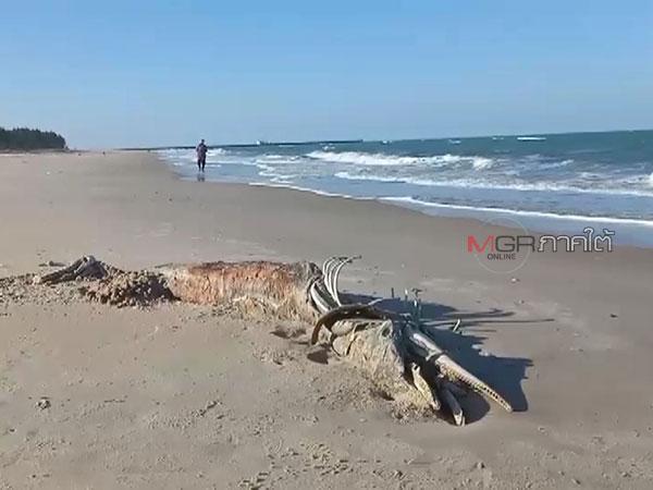 สลดโลมาโตเต็มวัยตายเกยหาด 2 ตัวใน 2 อำเภอชายทะเลนครศรีฯ