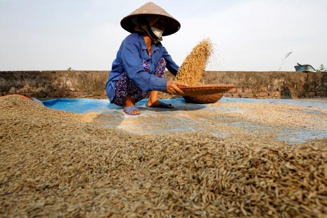 สมาคมอาหารเวียดนามยันประเทศยังส่งออกข้าวต่อเนื่องไม่หวั่นโควิด