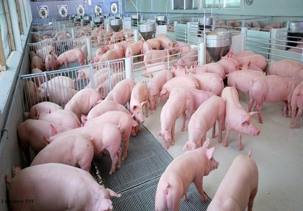 'ซีพีเอฟ' คุมเข้มมาตรการป้องกันโควิด-19 ย้ำเนื้อหมู เนื้อไก่ปลอดภัย 100%