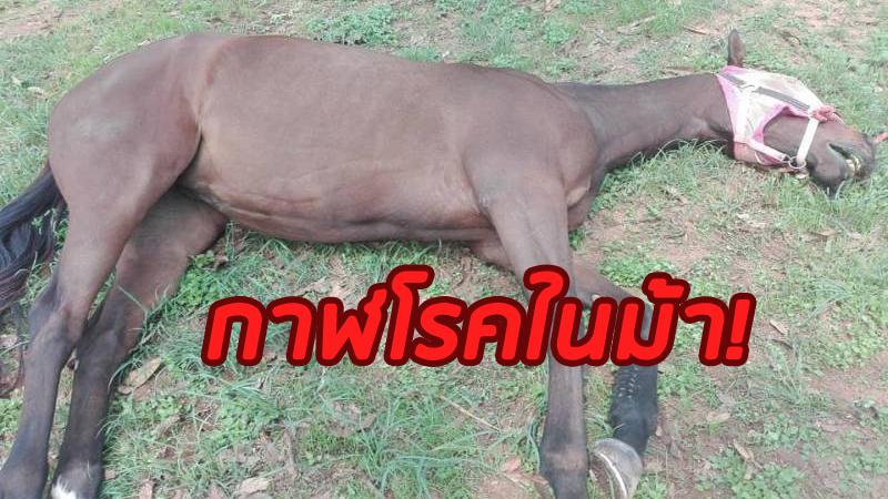"""""""ปศุสัตว์""""แจงม้าตายที่ปากช่องเป็น""""กาฬโรคในม้า"""" ไม่เกี่ยวโควิด-19"""