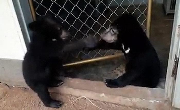 """น่ารัก น่าสงสาร """"น้องบ้านคา-กันเอง"""" 2 ลูกหมีน้อยรอดตายจากไฟป่า สู่ซุปตาร์สัตว์มาแรง"""