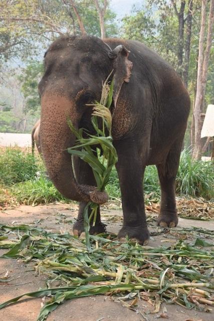คนเลี้ยงช้างวิจารณ์สนั่น! ไม่รู้เห็นคนอ้างวิกฤตโควิด เปิดบัญชีรับบริจาคเงินช่วยช้างทุกปาง