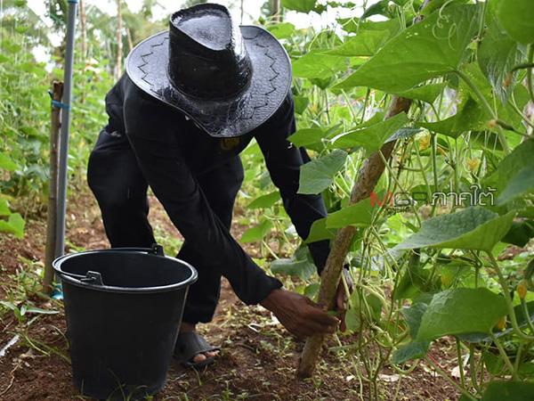 เกษตรกรบ้านไทรงามผักสดสตูล พอเพียงปรับตัวสู้ภัยแล้ง-รอดโควิด-19