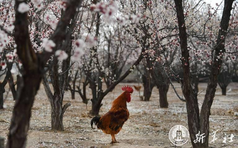 """จีนเผยภาพน่ารัก """"น้องไก่-ห่าน"""" เริงร่าได้ป่าดอกแอปริคอตบานสะพรั่ง"""