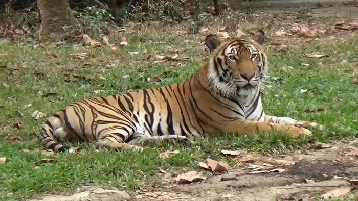 สวนสัตว์อุบลฯไม่ประมาททำความสะอาดกรงเลี้ยงเสือป้องกันติดเชื้อโควิด-19
