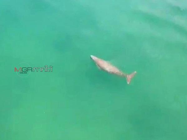 พบสัตว์ทะเลหายากในท้องทะเลตรัง โผล่ขึ้นมาหายใจโชว์โฉมให้เห็นอย่างใกล้ชิด