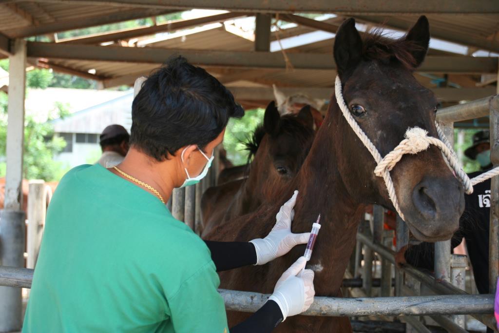 กรมปศุสัตว์ เตรียมฉีดวัคซีนป้องกันกาฬโรคแอฟริกาในม้า ครั้งแรกในไทยที่สถานเสาวภา