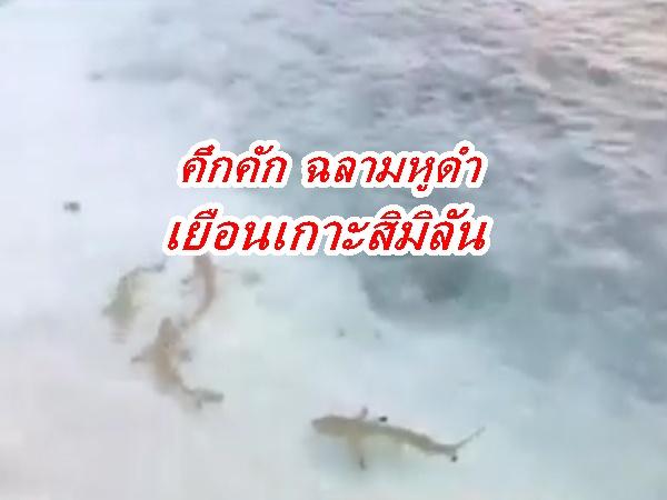 โควิดทำธรรมชาติฟื้น ฝูงฉลามหูดำโผล่เล่นน้ำ