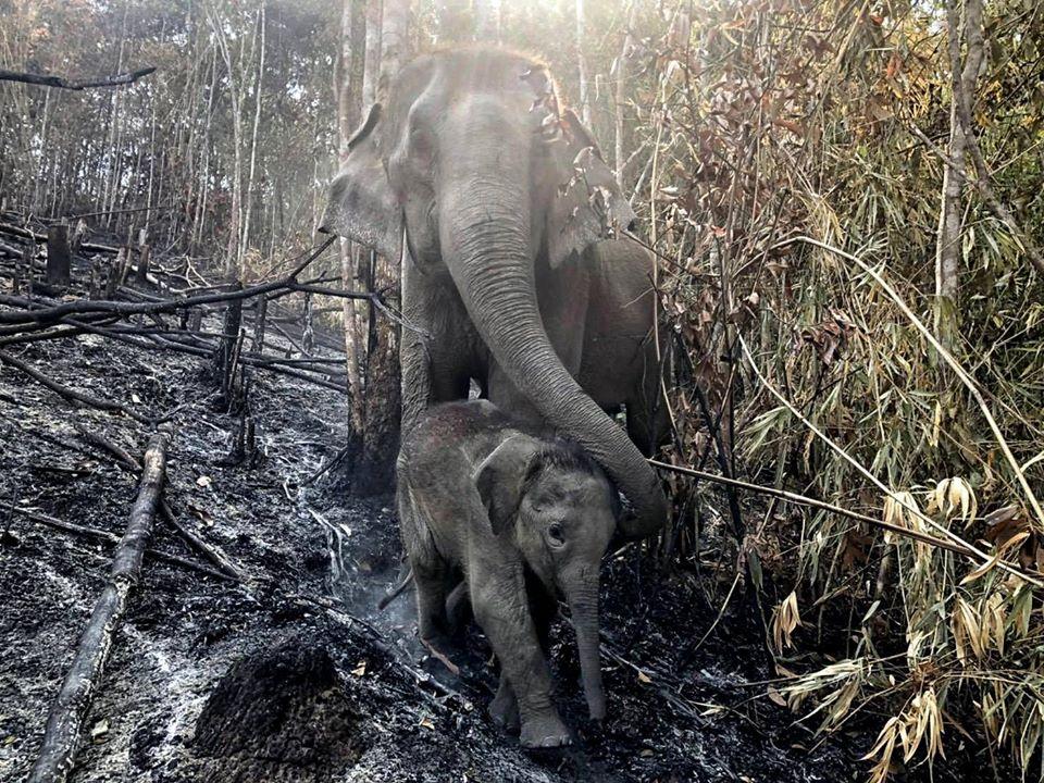 แม่ช้างพาลูกน้อยเดินฝ่าขี้เถ้าที่ร้อนระอุจากเหตุการณ์ไฟป่าเมื่อช่วงที่ผ่านมา (ภาพ : เพจเช็คอินเชียงใหม่ Checkin Chiangmai)