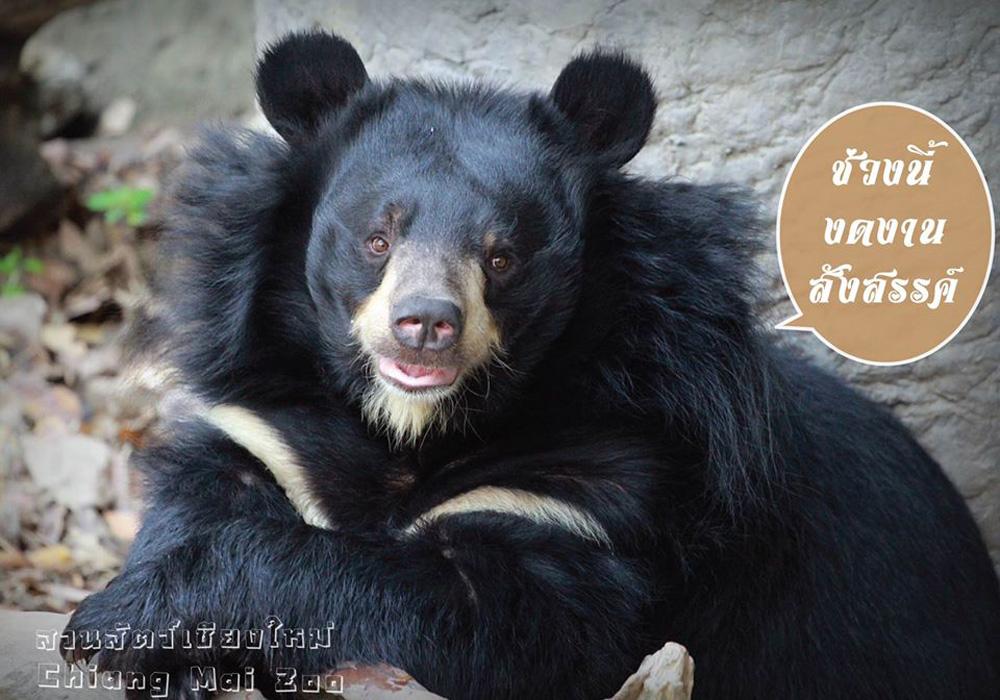 หมีควายที่สวนสัตว์เชียงใหม่ (ภาพจาก Facebook : สวนสัตว์เชียงใหม่ Chiang Mai Zoo)