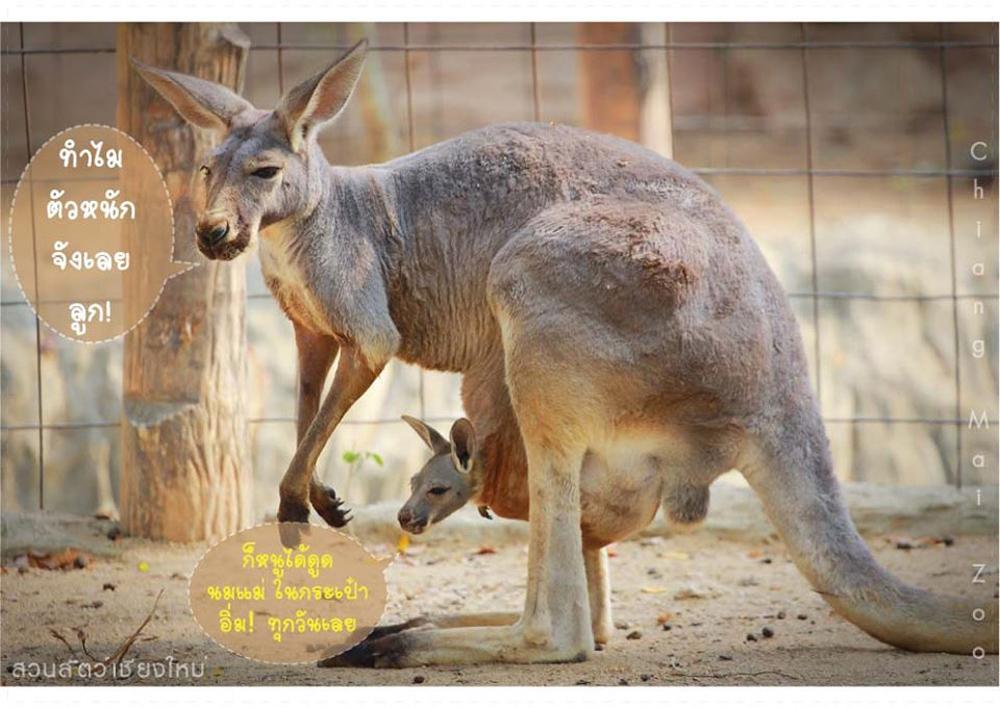 ให้ความรู้เรื่องกระเป๋าหน้าท้องของจิงโจ้ (ภาพจาก Facebook : สวนสัตว์เชียงใหม่ Chiang Mai Zoo)