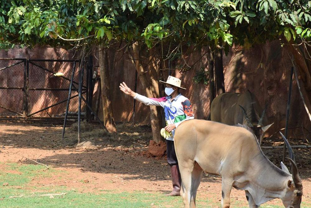 เจ้าหน้าที่ยังดูแลสัตว์เหมือนในยามปกติ (ภาพจาก Facebook : สวนสัตว์นครราชสีมา KORAT ZOO)