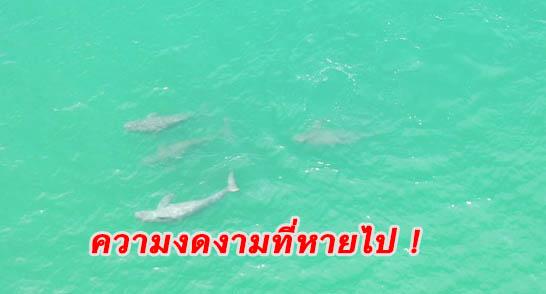 น่าตกใจ! พฤติกรรมมนุษย์ทำโลมาอิรวดี– พะยูน-เต่าทะเล เริ่มหายจากทะเลเมืองตราด