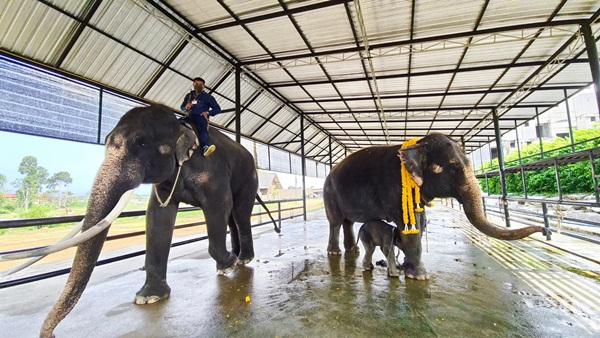 แม่ช้างขี้อายตกลูกช้างพังเชือกที่ 8 เพิ่มสมาชิกลำดับที่ 95 ให้ปางช้างสวนนงนุชพัทยา