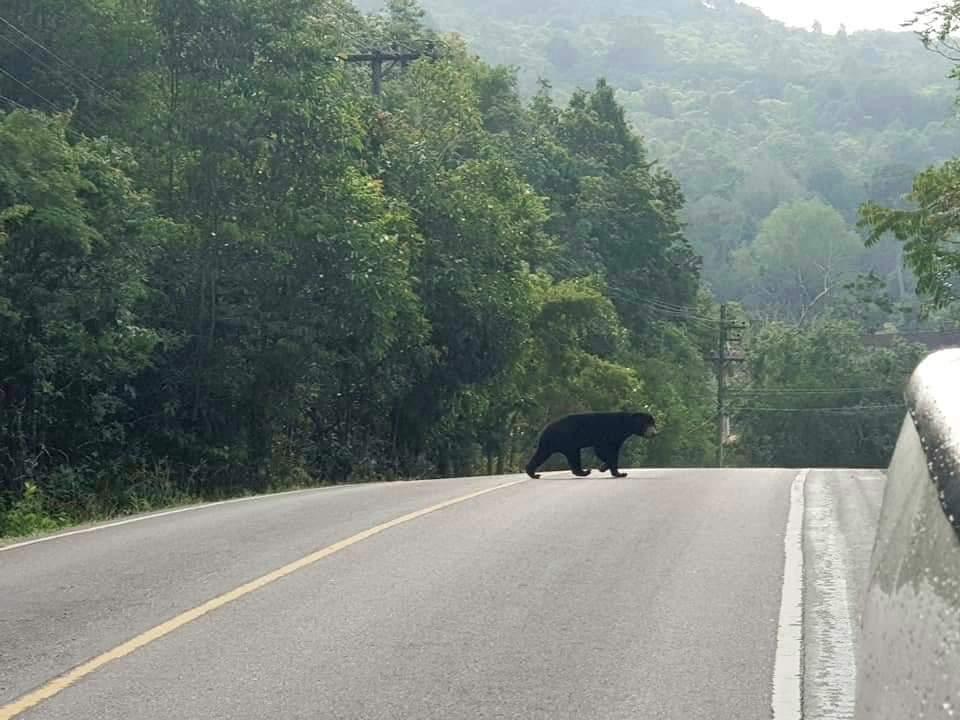 หาดูยาก! หมีหมาเดินอวดโฉมข้ามถนน ที่เขาใหญ่