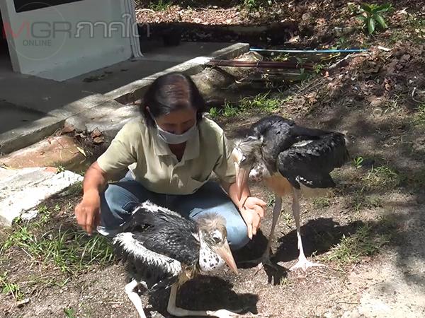 """สวนสัตว์สงขลาประสบความสำเร็จในการขยายพันธุ์ """"นกตะกรุม"""" ในรอบ 22 ปี"""