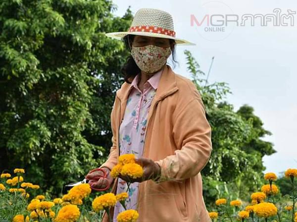 ชาวสวนยางพาราสตูลปลูกดอกดาวเรืองป้อนตลาดเสริมรายได้ หลังปลูกผักไม่รุ่ง