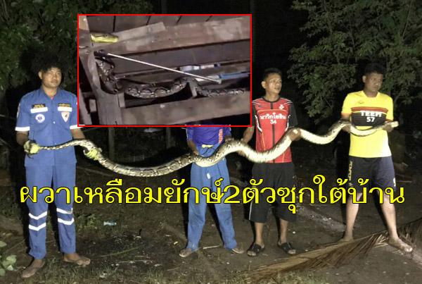ชาวบ้านเมืองช้างผวา! เหลือมยักษ์ 2 ตัวเลื้อยบนคานใต้ถุนบ้าน แจ้งกู้ภัยช่วยจับคืนป่า