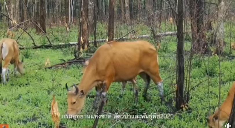 ฝูงวัวแดงเริงร่า กินหญ้าแตกใบอ่อน ที่เขตรักษาพันธุ์สัตว์ป่าห้วยขาแข้ง