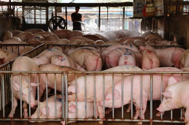 เวียดนามนำเข้าพ่อแม่พันธุ์หมูจากไทยหลังโรคระบาดเล่นงานหมูท้องถิ่น