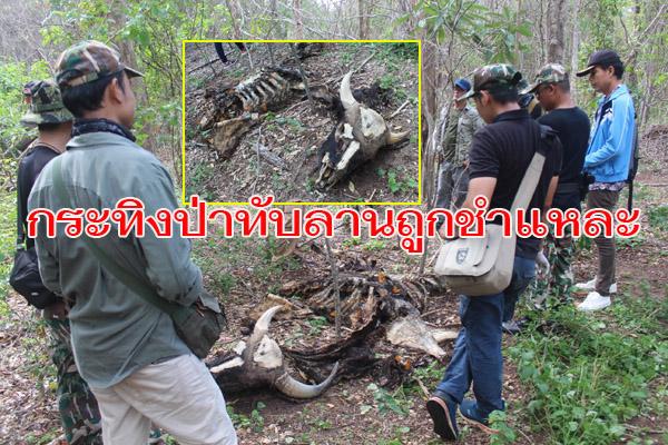 พบอีก! กระทิงถูกชำแหละกลางป่าทับลาน พร้อมปลอกกระสุน หน.อุทยานฯสั่งปิดป่าห้ามเข้าทุกกรณี