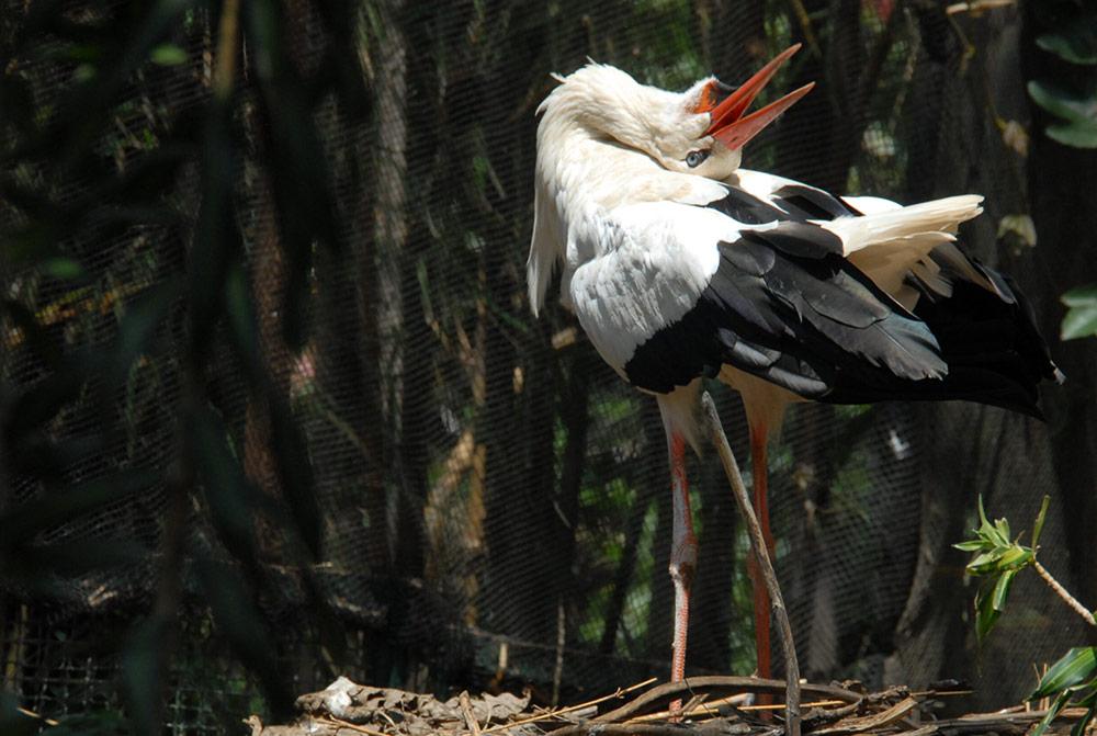 เหลือเชื่อ! นกกระสาขาวป่าอังกฤษ ฟักตัวตามธรรมชาติครั้งแรกในรอบ 600 ปี