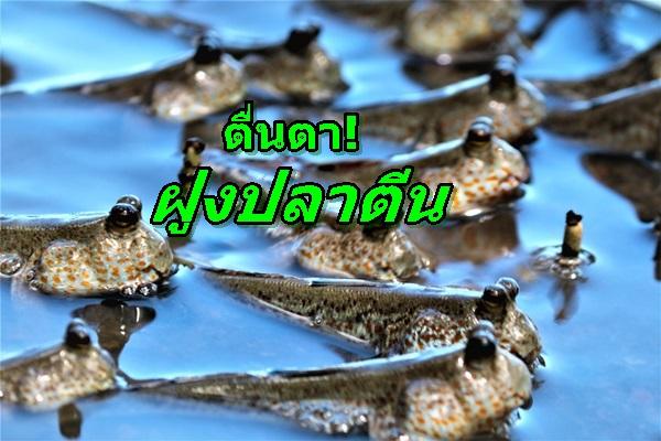 ตื่นตา! ปลาตีนนับพันตัวรวมกลุ่มหากินตามแนวป่าชายเลน ระบบนิเวศน์ทางทะเลสมบูรณ์