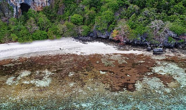 เกาะยูงหลังจากปิดมา 4 ปี พื้นที่แห่งนี้เคยเป็นเศษซากปะการัง แต่วันนี้กลายเป็นดงปะการังน้ำตื้นขนาดยักษ์สีน้ำตาลลามไปทุกทิศทาง จนเกือบชิดชายหาด (เครดิตภาพ กรมอุทยานฯ)