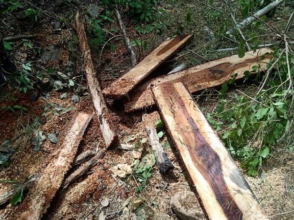 เจ้าหน้าที่ อช.แก่งกระจาน เร่งหาตัวคนร้ายลักลอบตัดไม้ในเขตป่าสงวน