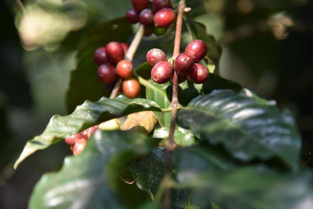 กรมเจรจาฯ ประชุมทางไกลกับผู้ประกอบการกลุ่มกาแฟ ชี้โควิด-19 ไม่กระทบการผลิต การขาย ส่งออก