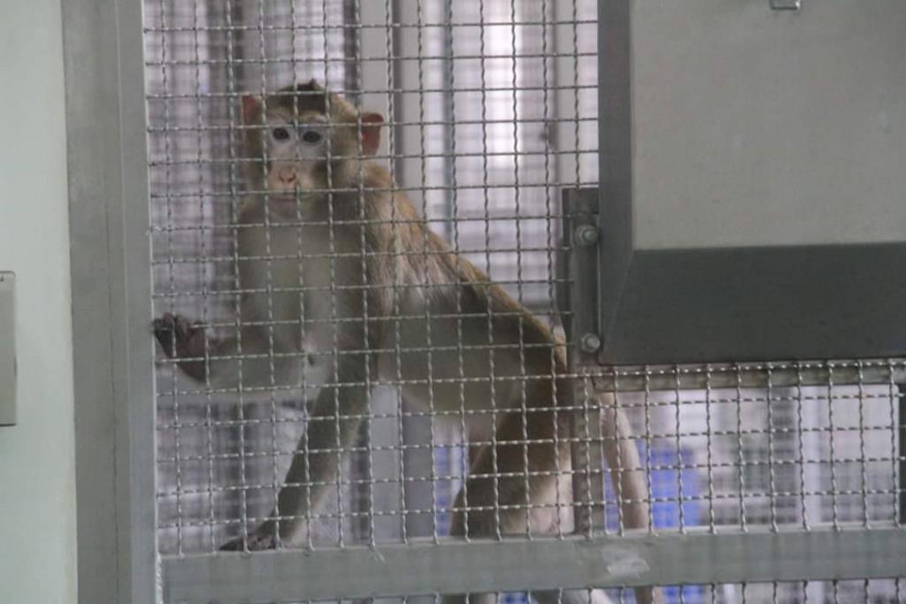 ลิงแสม สัตว์ทดลองที่ใช้ทดสอบวัคซีนโควิด-19 ณ ศูนย์วิจัยไพรเมทแห่งชาติ