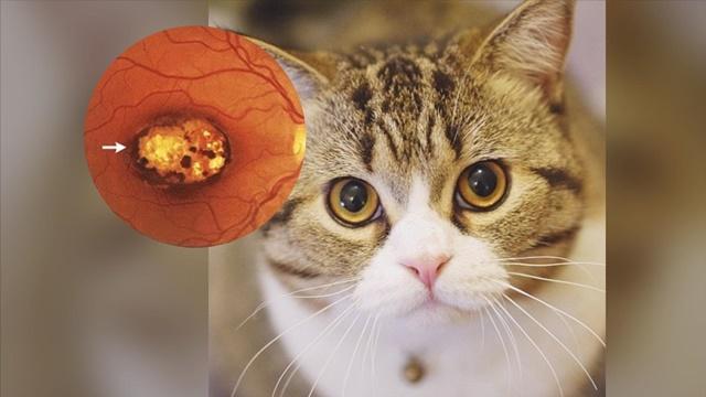 ทาสแมวควรระวัง! โรคขี้แมวขึ้นสมอง หากเกิดขึ้นกับหญิงตั้งครรภ์ เสี่ยงแท้งลูกได้
