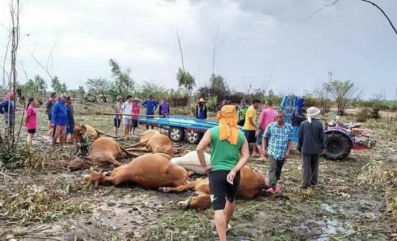 ฝนตกฟ้าผ่าฝูงวัวกลางทุ่งตาย8ตัว แต่ละตัวสนตะพายคล้องทองเหลืองล่อฟ้า