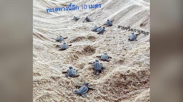 """""""ดร.ธรณ์"""" ดีใจ! เปิดภาพลูกเต่าคลานลงทะเล หลังมีแม่เต่าขึ้นวางไข่ บนเกาะสมุย นับได้ถึง  9 รัง"""
