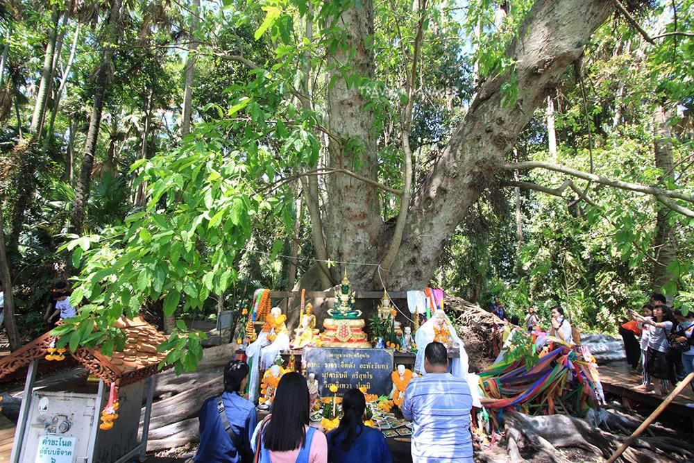 ต้นมะเดื่อยักษ์ ต่อไปห้ามลูบคลำขอหวย