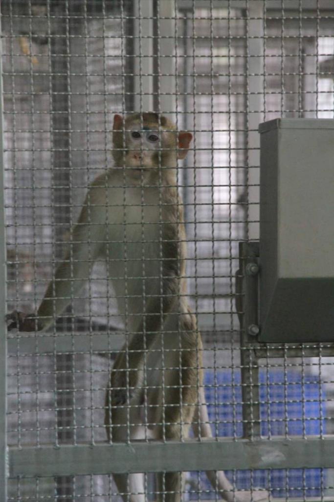 ลิงแสมสายพันธุ์ไทยในศูนย์วิจัยไพรเมทแห่งชาติ