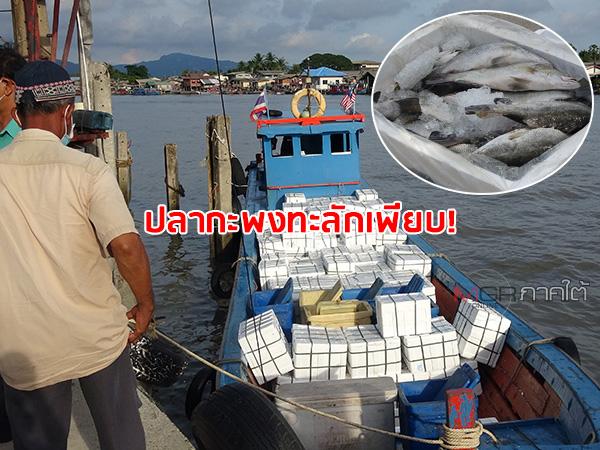 """""""ปลากะพง"""" จากมาเลเซียทะลักเข้าไทยจำนวนมาก กระทบทำปลาในพื้นที่ จ.สตูล ขายไม่ได้"""