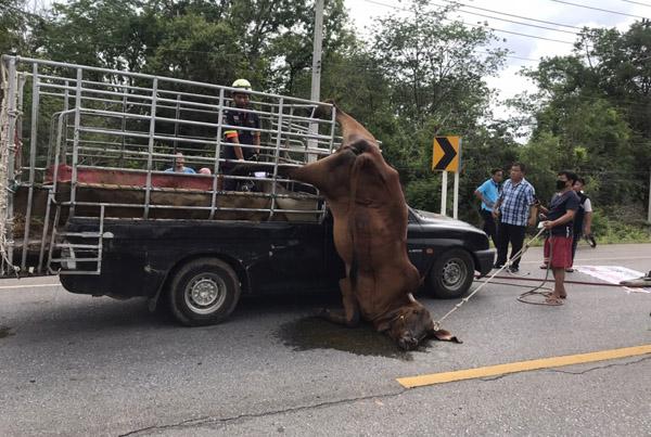 หวาดเสียว! แม่วัวท้องแก่ตกใจกระโดดลงรถขาติดห้อยกรงเหล็กหวิดขาด กู้ภัยเร่งช่วยเหลือ