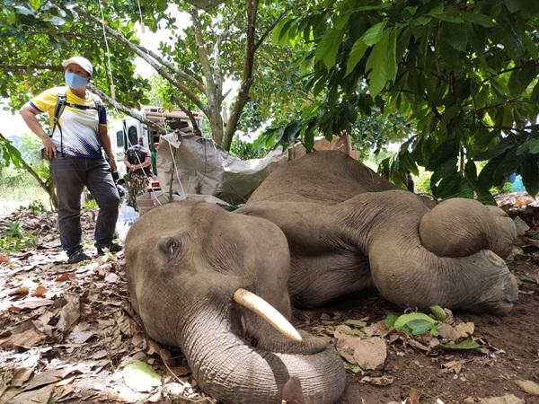 เร่งช่วย!!ช้างป่ากุยบุรีเพศผู้ นอนป่วยอยู่กลางไร่ขนุนสามร้อยยอด