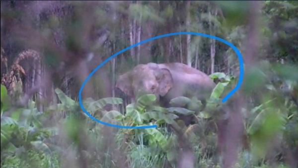 โล่งใจ..ช้างสีดอพลัดหลงเข้าเขตเมืองสระแก้วกลับเขาป่าอุทยานฯปางสีดาแล้ว