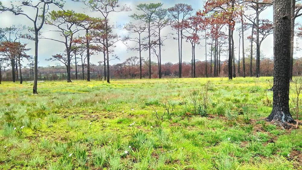 """เผยภาพป่าสนบน """"ภูกระดึง"""" ดอกเปราะภูเริงร่า-ทุ่งหญ้าเขียวขจี-หม้อข้าวหม้อแกงลิงอวดโฉมเพียบ"""