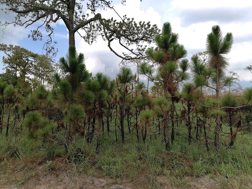 ป่าสนที่ถูกไฟป่า ต่างพากันเกิดใหม่ แตกใบอ่อน (ภาพ : เพจ อุทยานแห่งชาติภูกระดึง)