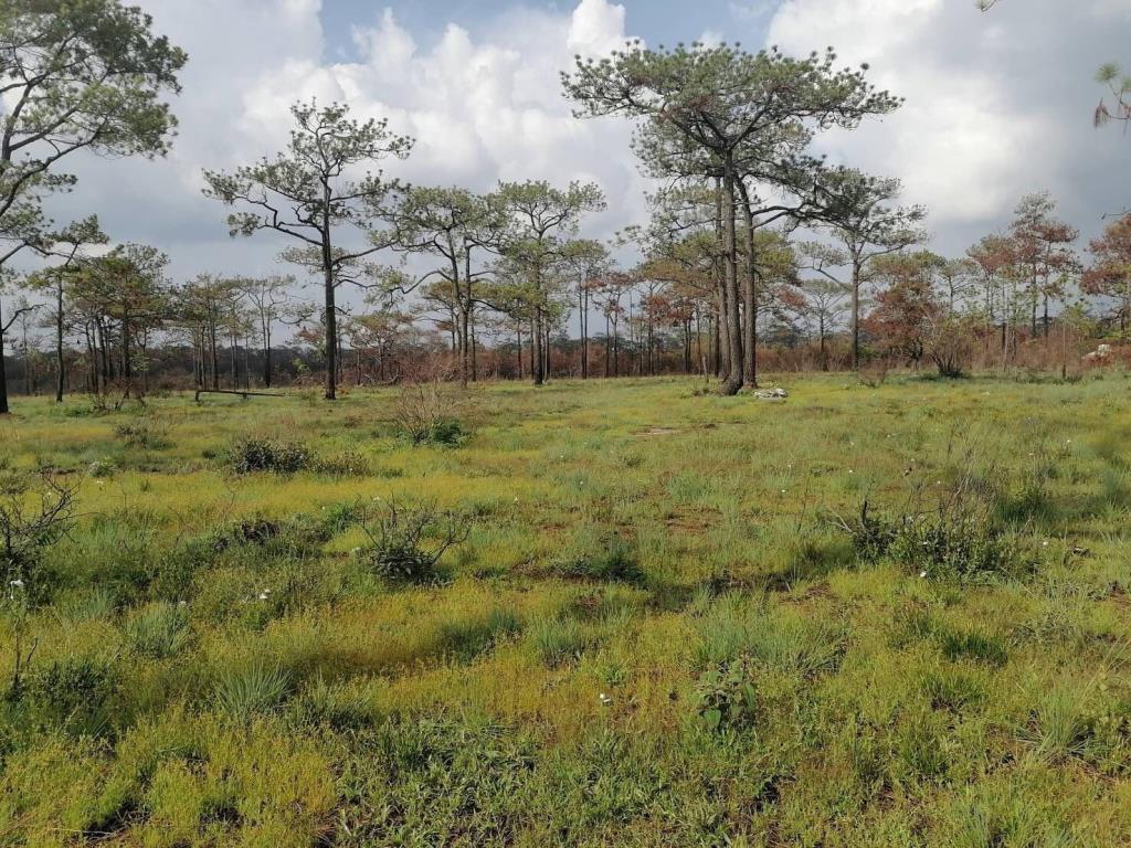 ทุ่งหญ้าป่าสนบนยอดภูกระดึง กลับมาเขียวขจีในช่วงฤดูฝน (ภาพ : เพจ อุทยานแห่งชาติภูกระดึง)